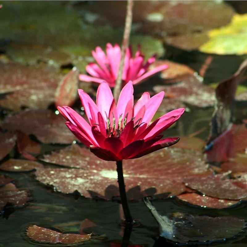 Lovely lotus )