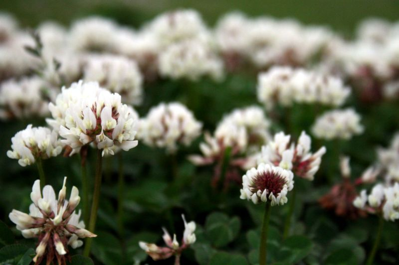 Blooms of clover