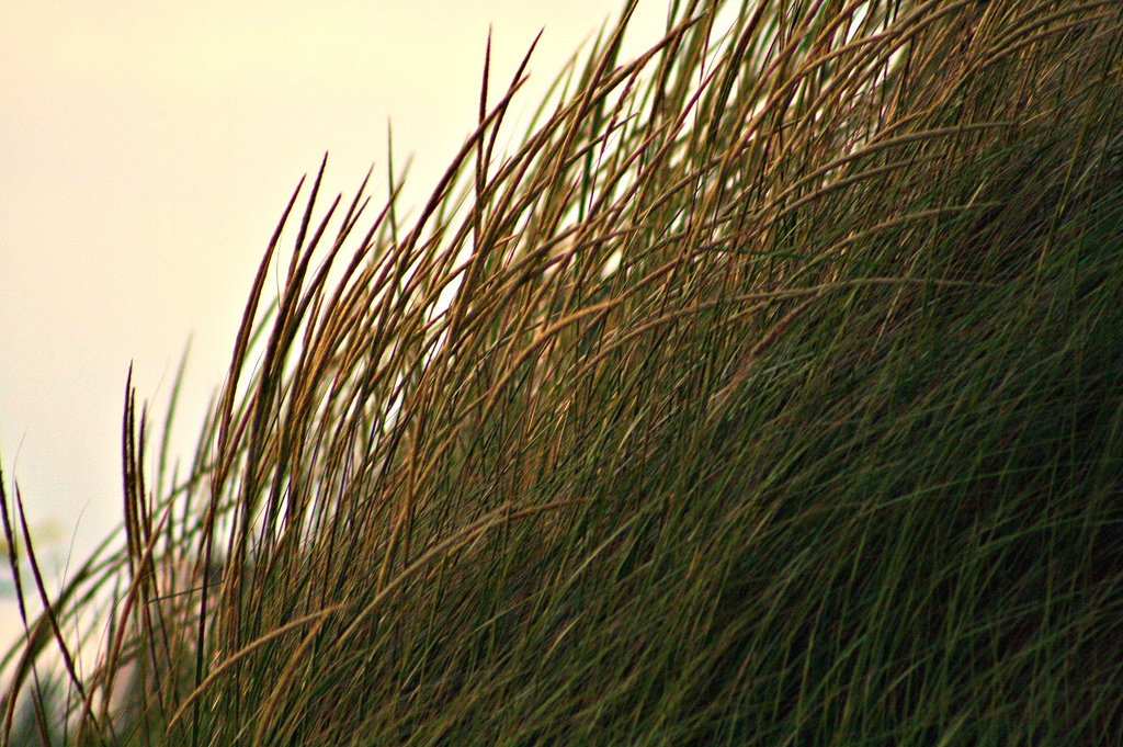Dune grass beckoned by twilight